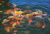 picture of koi  - Fish Koi fight for food - JPG