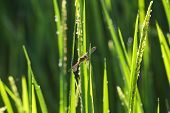 Dragonfly perched on rice field
