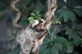 picture of marmosets  - marmoset monkey on branch of tree is tongue out - JPG