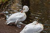Couple Of Pelicans