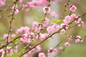 stock photo of apricot  - closeup of Japanese apricot pink flowers blossom - JPG
