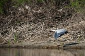 stock photo of off-shore  - A grey heron takes off from the shore of the river - JPG