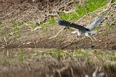 pic of off-shore  - A grey heron takes off from the shore of the lake - JPG
