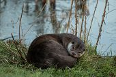Otter Sleeping