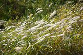 Silver Grass With Wind