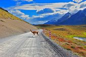 Magic country Patagonia. Hills National Park Torres del Paine. Sleek local guanaco crosses gravel road