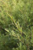 stock photo of planting trees  - Sprig of a Tea tree plant - JPG