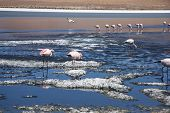 Pink flamingos in the lagoon