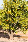 foto of valencia-orange  - Trees with orange typical in the province of Valencia Spain