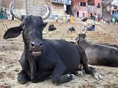 pic of gang  - Bulls sitting on the ghats by the Ganges river in Varanasi - JPG