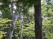 Birch And Cedar Forest