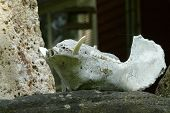 close-up pig skull on stone wall