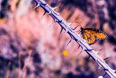 image of monarch  - Monarch Butterfly on Thorny Plant Branch Closeup Photography - JPG