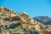 California Bighorn Sheeps