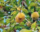 Quince On The Tree