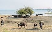Water Buffalo Grazing On Field Beside The Lake