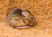 House Mouse (mus Musculus) Cleaning