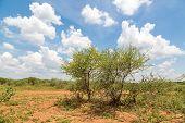 Shrubs In The Dry Savannah Grasslands Of Botswana..