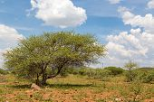 Shrubs In The Dry Savannah Grasslands Of Botswana..