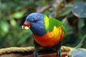 Colorful Rainbow Lorikeet in Tenerife