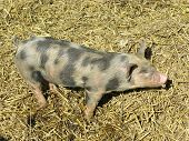 stock photo of farrow  - A mottled youn pig in the straw of a stable of a farm - JPG