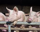 picture of farrow  - Young chattering pigs on the gate of their stable waiting for food - JPG