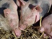 stock photo of farrow  - Three snouts of young pigs in the straw - JPG