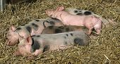picture of farrow  - Sleeping mottled and pink piglets in the straw - JPG