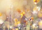 picture of buttercup  - Background with yellow flower of a buttercup on a meadow lit with the sun - JPG