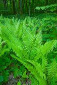 picture of fern  - Fern in the Bialowieza Forest - JPG