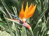 pic of bird paradise  - Exotic Flower Bird of paradise found all over Madeira.