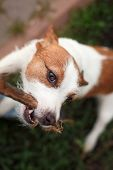 foto of jack russell terrier  - Dog Jack Russell Terrier walking outside in spring - JPG
