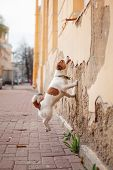 picture of jack russell terrier  - Dog Jack Russell Terrier walking outside in spring - JPG
