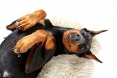 foto of doberman pinscher  - Playful humour - JPG
