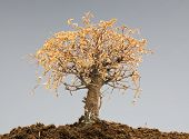 stock photo of bonsai  - Dead bonsai tree on a grey background - JPG