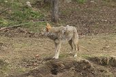 stock photo of coy  - A lone Coyote in the forest in fall. ** Note: Soft Focus at 100%, best at smaller sizes - JPG