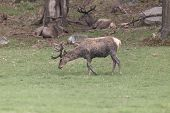 pic of jousting  - A lone male deer feeding in a field - JPG