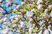 stock photo of bud  - Closeup of blossoms and buds of a crabapple tree - JPG