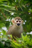 picture of common  - A common squirrel monkey playing in the trees - JPG