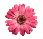 image of gerbera daisy  - Pink gerbera daisy isolated on a white - JPG