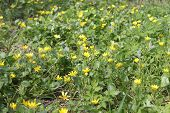 picture of cowslip  - spring yellow buttercups bloom on  the meadow - JPG