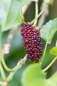 picture of mulberry  - rip mulberry fruit on tree - JPG