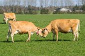 stock photo of dairy cattle  - Jersey cattle head to head on a green field in the spring - JPG