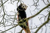 stock photo of panda  - Red panda climbing in a big tree - JPG