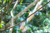 picture of tail  - colorful bird long tailed broadbill on tree branch in forest - JPG