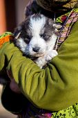 picture of little puppy  - Little beautiful black and white shepherd puppy held on human shoulders  - JPG