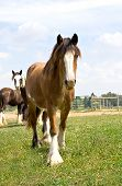 picture of gypsy  - A young Gypsy Vanner Horse being curious and walking - JPG