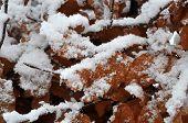 Brown Hornbeam In Winter