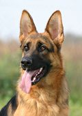 Cute German Shepherd