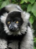 Ruffed lemur looks to the right